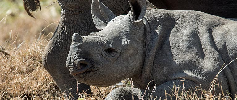 Conserving Black Rhinos - Worldwide Experience